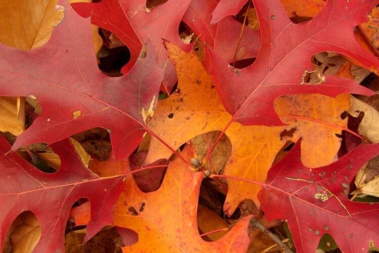 a pile of scarlet oak leaves