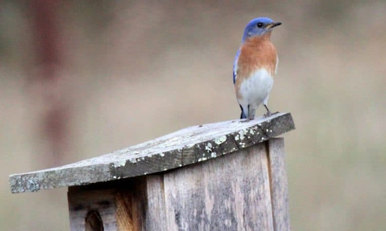 An eastern bluebird perched atop an old birdhouse in Howard, Pennsylvania.