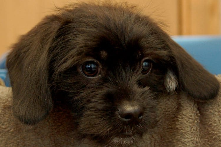 Wicket, a rescued puppy mill dog